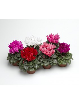 Cyclamen (Sup Winter D12)