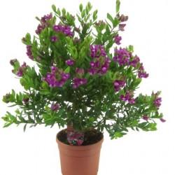 Polygala myrtifolia D19