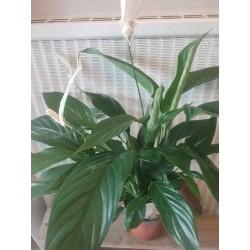 Spathiphyllum d14(purifie...