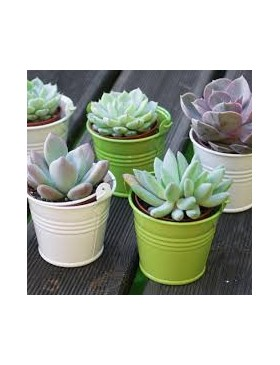 Mini plante grasse avec...