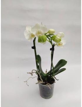 Orchidée Moyenne 2 Tiges
