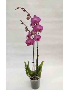Orchidée 2T
